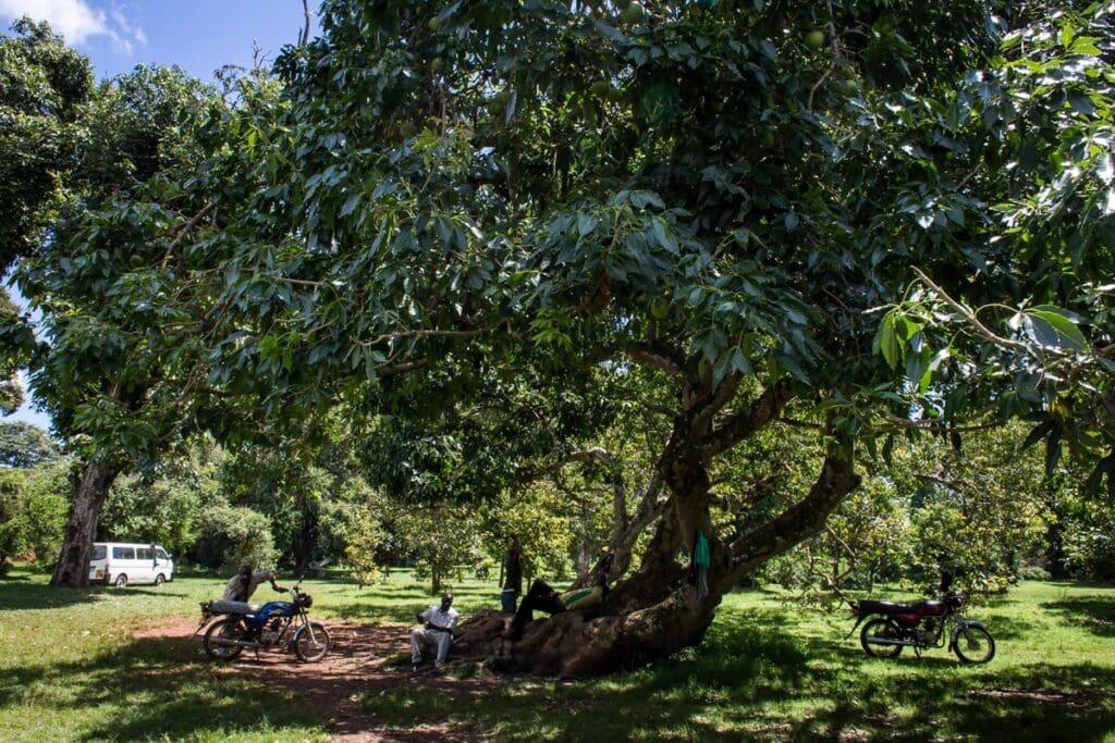 Botanická zahrada v Entebbe.