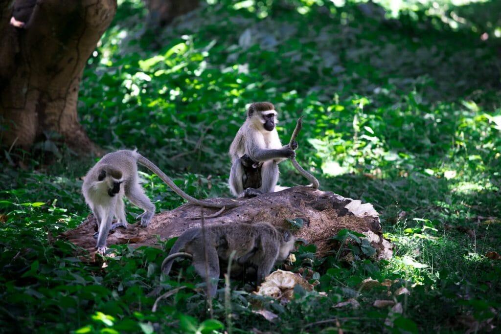 Vyhnout se opicím v Ugandě je nemožné