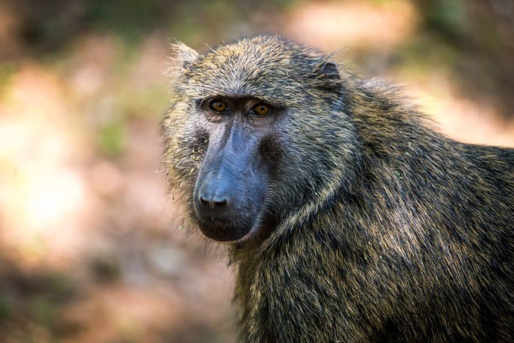 Opice, kterým místní říkají Olive Baboons, můžete vidět pouze v Ugandě