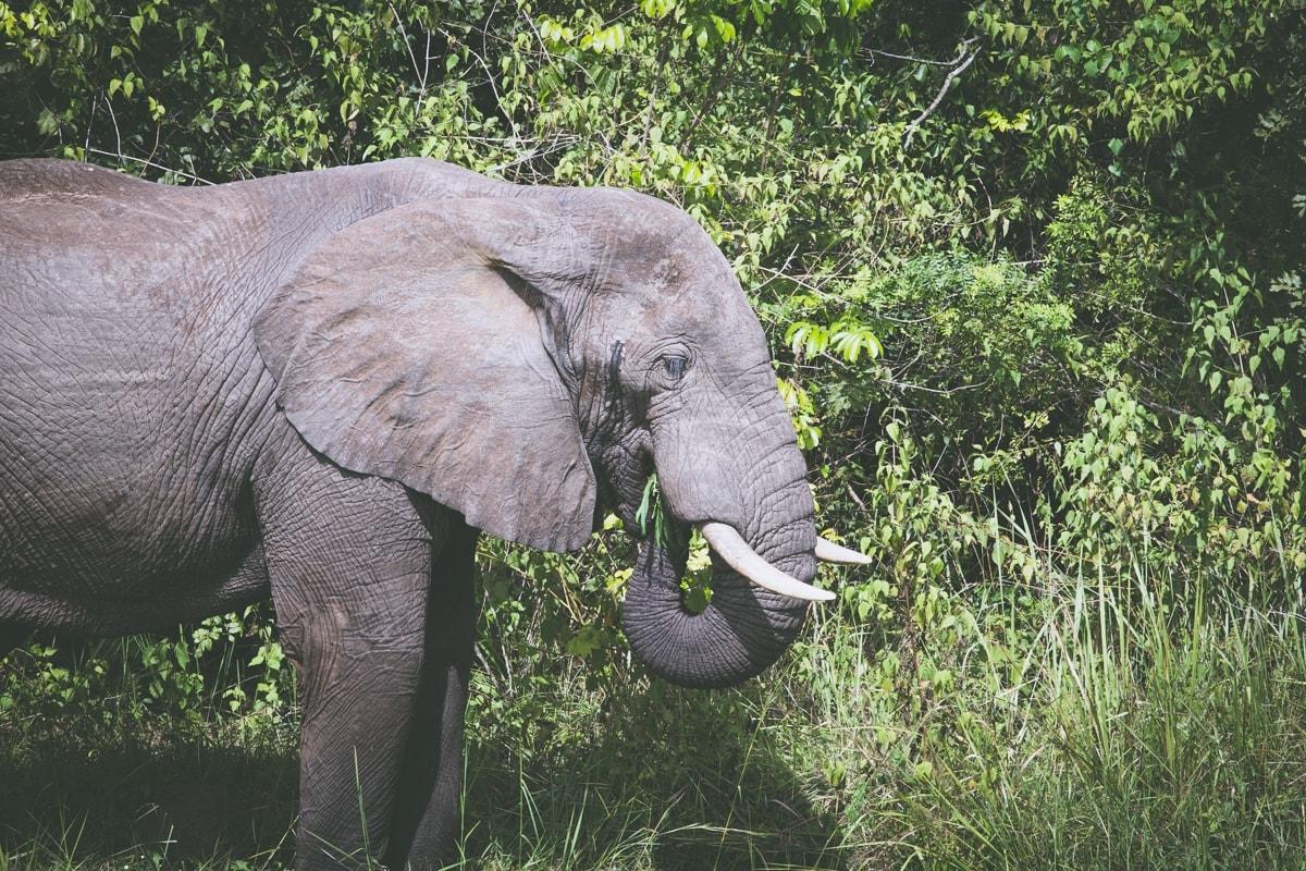 Zatímco slon indický je velmi klidné a mírumilovné zvíře. Slon africký je nebezpečný