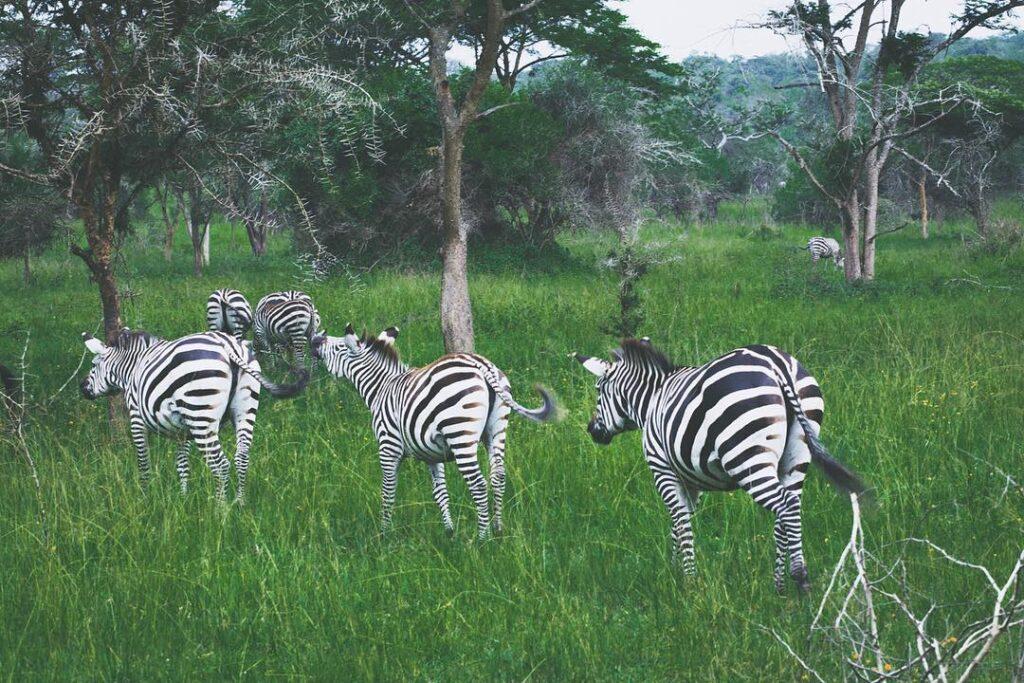 Na zebry do Lake Mburo National Parku