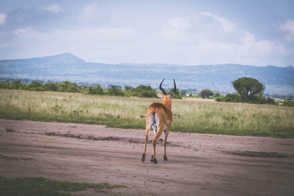 Ugandské safari nepatří k nejpopulárnějším, ale stojí za to