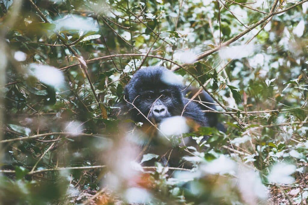 Těchto horských goril je na světě jen 800 a všechny žijou ve dvou Národních parcích v Ugandě. Jeden z těch národních parků zasahuje i do Demokratické Republiky Kongo a Rwandy. Nikde jinde na světě se s nimi setkat nemůžete.