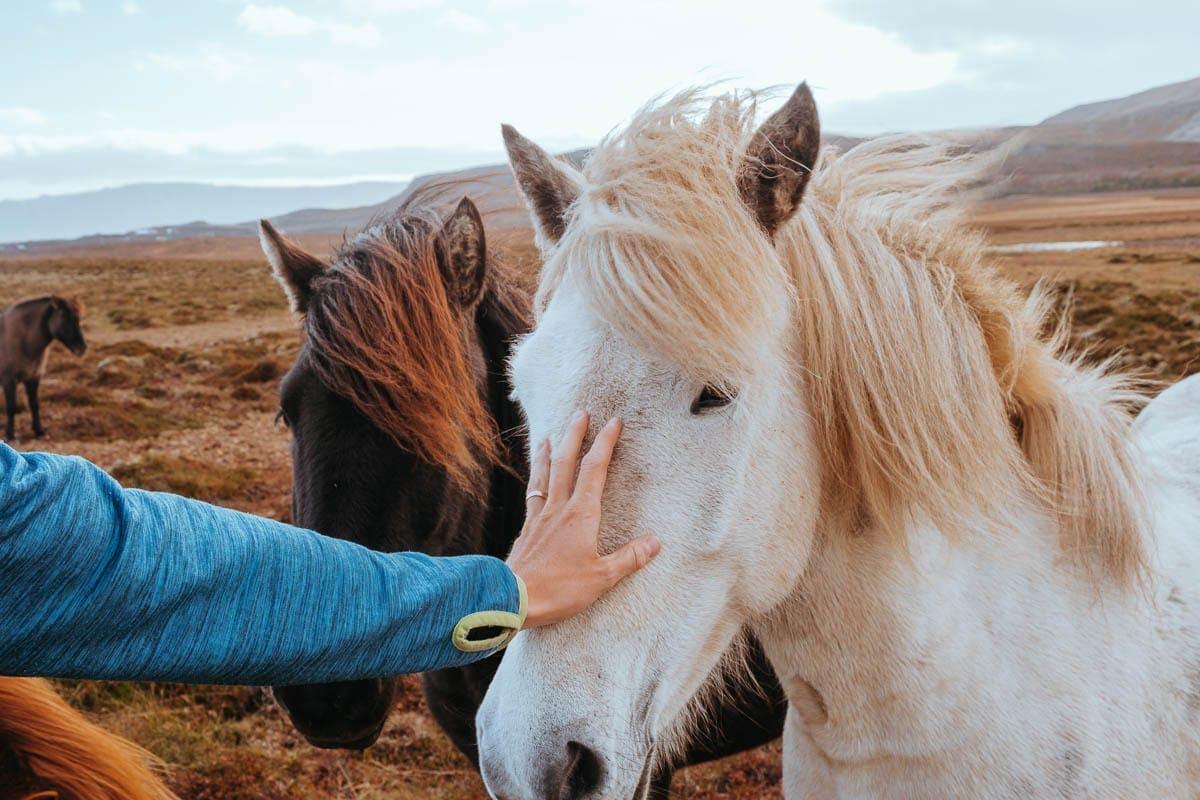 Nejvíc ze všeho jsme si na Islandu zamilovali koníky