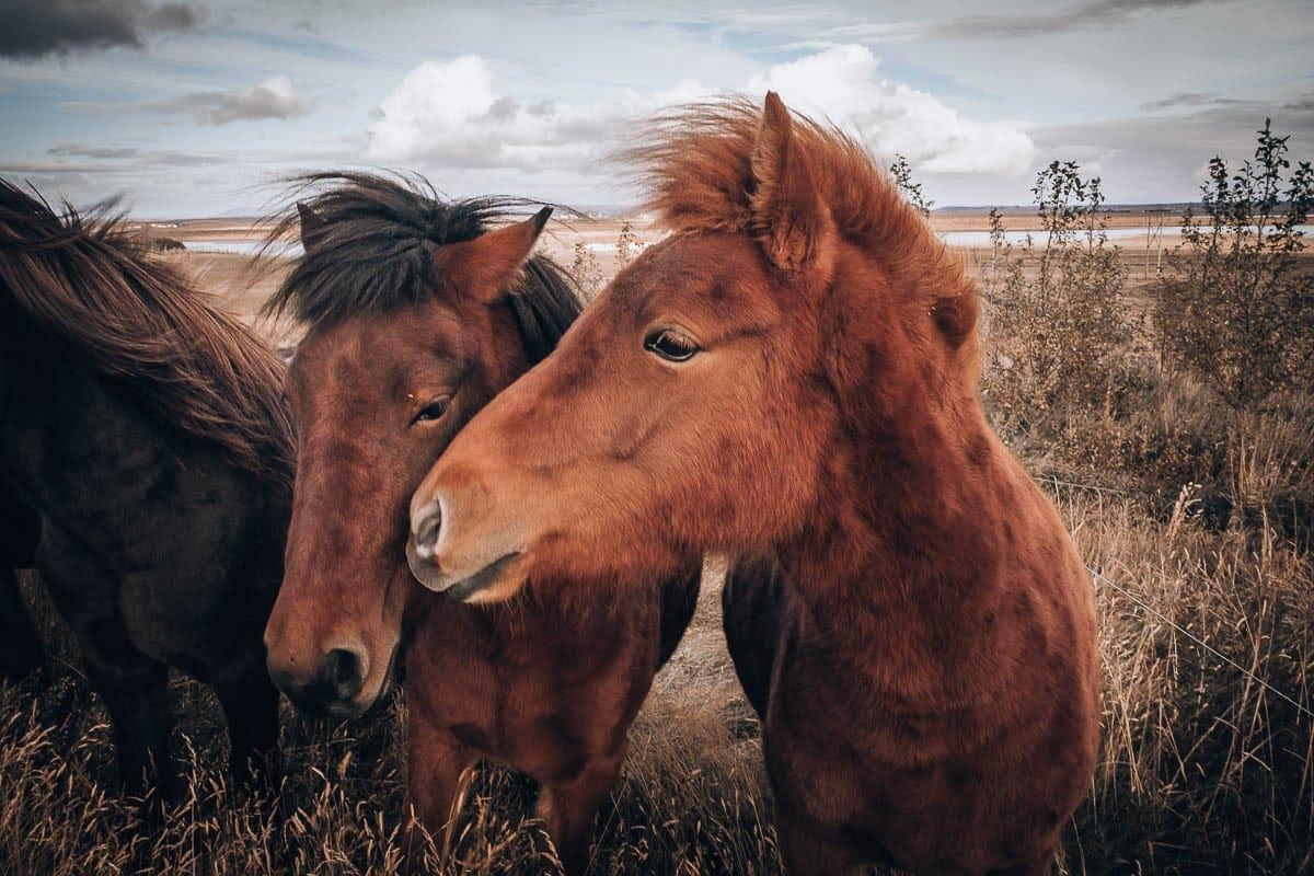 Když bychom žili na Islandu, nutně bych potřebovala koně