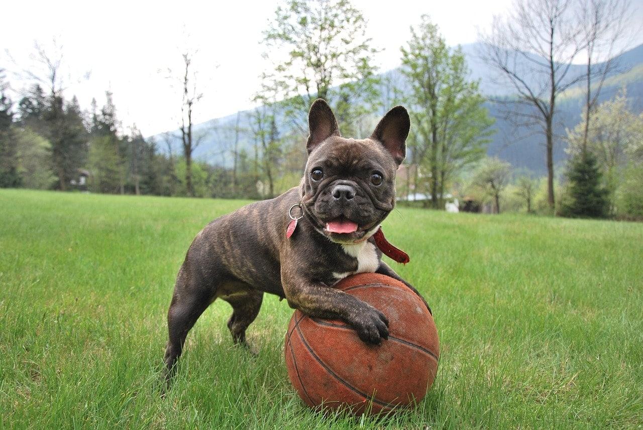 pejsek mopsík s míčem na trávníku
